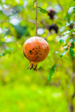Punica granatum Diseased. Rotten pomegranate on the tree Royalty Free Stock Photo