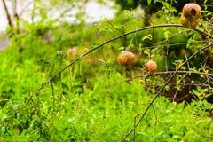 Punica granatum Diseased. Rotten pomegranate on the tree Royalty Free Stock Photos