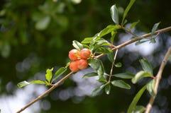 Punica granatum flower. In nature garden Stock Image