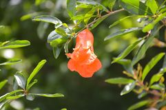 Punica granatum flower. In nature garden Royalty Free Stock Images