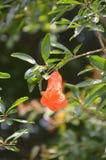 Punica granatum flower. In nature garden Stock Photo