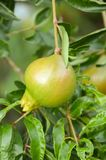 Punica granatum fruit. In nature garden Royalty Free Stock Photo