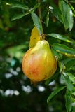 Punica granatum fruit. In nature garden Stock Photo