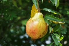 Punica granatum fruit Royalty Free Stock Photo