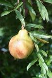 Punica granatum fruit. Punica granatum t in nature garden Stock Image