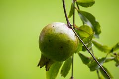 Punica granatum hanging on the branch royalty free stock images
