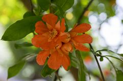 Punica granatum, pomegranate tree in bloom. Orange flowers with petals Stock Images