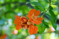 Punica granatum, pomegranate tree in bloom. Orange flowers with petals Stock Image