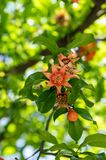 Punica granatum, pomegranate tree in bloom. Ornamental fruit small tree with flowers and leaves on branches Royalty Free Stock Photography
