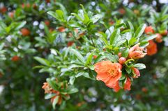 Punica granatum, pomegranate tree in bloom. Ornamental fruit small tree with flowers and leaves on branches Stock Photography