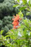 Punica granatum, pomegranate tree in bloom. Ornamental fruit small tree with flowers and leaves on branches Royalty Free Stock Photo
