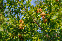 Punica granatum, pomegranate tree with green unripened fruit. In the sun shine at beautiful sunny summer day Stock Image