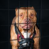 Punishment of a dangerous dog,. Pit bull in a cage, studio Royalty Free Stock Photos