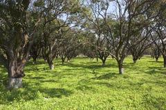 Punjabi mango orchard Stock Image
