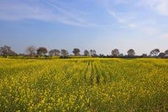 Punjabi mustard crop Royalty Free Stock Images