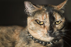 Punk cat royalty free stock images