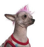Punk dressed Mexican hairless dog, 4 years old Stock Photography