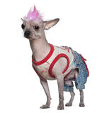 Punk dressed Mexican hairless dog, 4 years old. Standing in front of white background stock photo