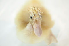 Punk duckling is looking angry to all Royalty Free Stock Photos