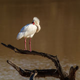 Punk rocker spoonbill royalty free stock image