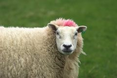 Punk sheep Stock Images