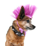 Punker dog Stock Images