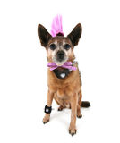 Punker dog Royalty Free Stock Photography