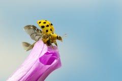 22 punktów ladybird Obrazy Stock
