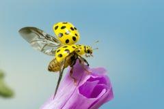 22 punktów ladybird Zdjęcie Royalty Free