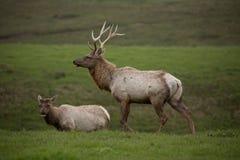 5 punktów stary męski łoś i kobieta wyszukujemy zielonych pola Zdjęcie Royalty Free