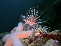 Punkt-Flosse Lionfish Stockfotos