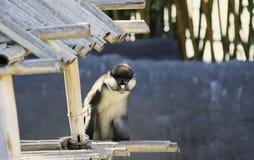 punkt małpa ostrożnie wprowadzać punkt Obraz Royalty Free