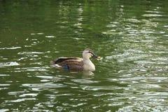 Punkt Wystawiał rachunek kaczki, Anas poecilorhyncha w Japonia Obrazy Stock