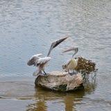 Punkt wystawiający rachunek pelikan Na skałach Obrazy Stock