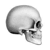 Punkterad mänsklig skalle med en lägre käke Profile beskådar också vektor för coreldrawillustration Arkivbild