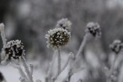 Punktierte bereifte Blumen Stockfoto
