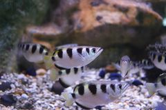 Punktu archerfish lub largescale archerfish Obrazy Stock