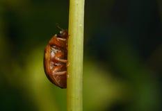 Punktu ladybird (Calvia 14 guttata) Zdjęcia Stock