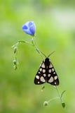 Punktu mothArctia tygrysi villica Fotografia Royalty Free
