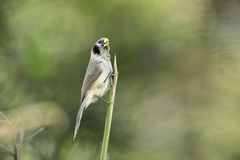Punktu Parrotbill chwyta lalang w naturze Fotografia Stock