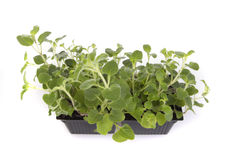 Punnet of Oregano Stock Photo