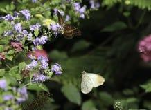 Punta arancione Butterly e farfalla di Lacewing Immagine Stock Libera da Diritti