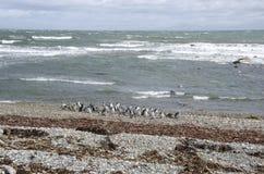 Punta Arenas - colonia del pinguino immagine stock libera da diritti