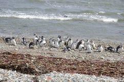 Punta Arenas - colonie de pingouin Photos libres de droits