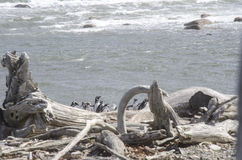 Punta Arenas - Penguin Colony Royalty Free Stock Photography