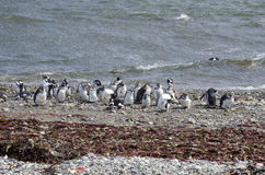 Punta Arenas - Penguin Colony Stock Images