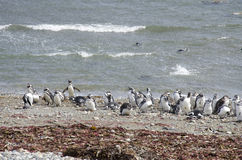Punta Arenas - Penguin Colony Stock Image