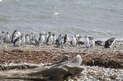 Punta Arenas - Penguin Colony Stock Photography