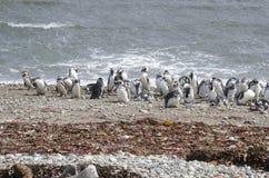 Punta Arenas - Penguin Colony Stock Image