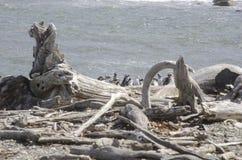 Punta Arenas - Penguin Colony Royalty Free Stock Photos